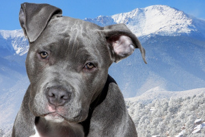 American Staffordshire Terrier (American Staffordshire Terrier)